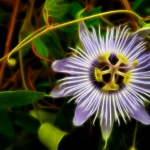 Why you may want to get passionate about passionflower