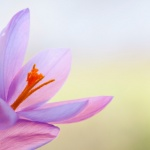 Explore the health benefits of saffron extract