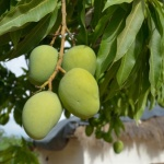 Try African mango to lose weight