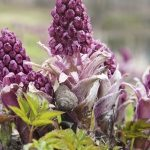 Butterbur: for migraines, allergies, and more