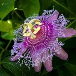 Natural supplements for anxiety: Passionflower