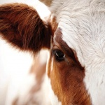 Bovine colostrum: Your tool for accelerated recovery, repair and anti-aging