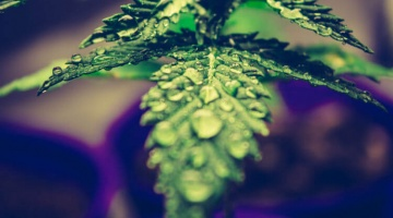 Hemp oil for arthritis is a good option for many of your patients