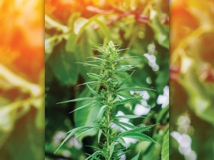 Hemp plant with high CBD content growing in field.