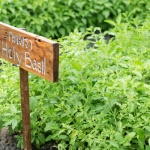 Holy basil: Benefits for the mind and body
