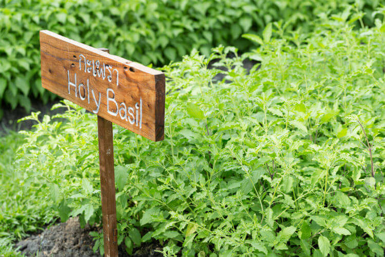 A group of plants showing the benefits of holy basil