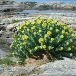 The powerful health benefits of rhodiola