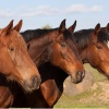 chiropractic for horses