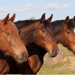 Chiropractic most-used complementary health care therapy for horses in survey