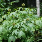 Eleuthero, or Siberian ginseng, and it's number of health benefits